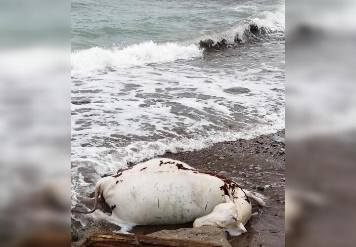 В Новороссийске на берегу моря обнаружили труп животного