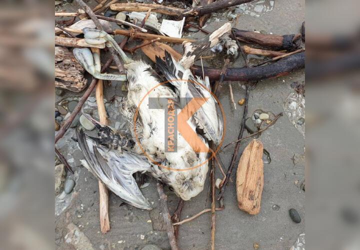 На пляжах Геленджика обнаружены мертвые птицы (ВИДЕО)