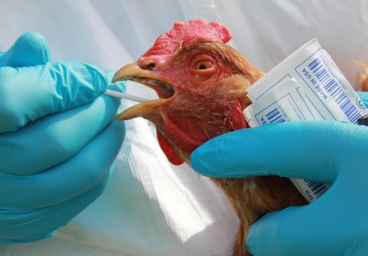 Первый в мире случай заражения птичьим гриппом человека выявлен на юге России