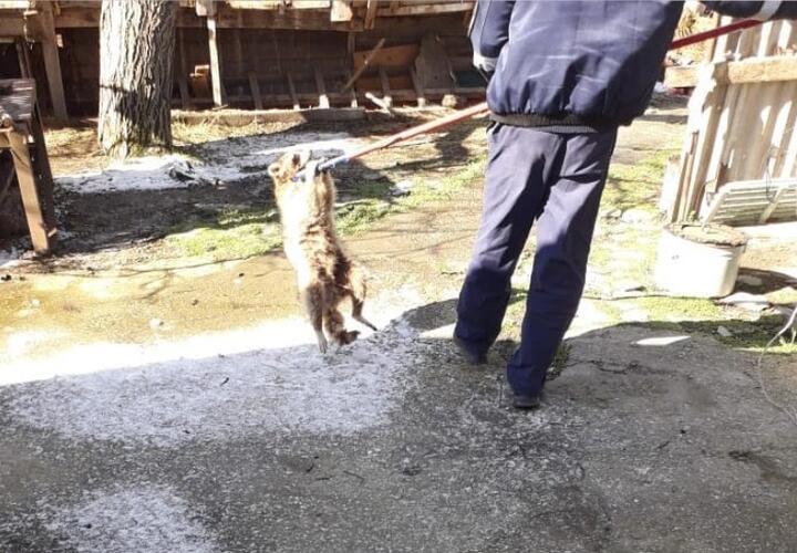 В Новороссийске енот два дня терроризировал хозяйку дома