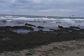 Черноморское побережье вновь погрязло в водорослях (ВИДЕО)