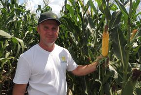 Посевы кубанские гибридов кукурузы «Ладожские» высоко оценили аграрии страны