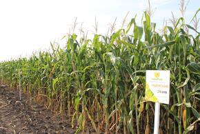 Кубанские гибриды кукурузы «Ладожские» оценят аграрии страны