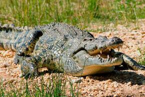 Мужчина пережил четыре нападения крокодилов