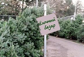 На Кубань привезут отечественные ели