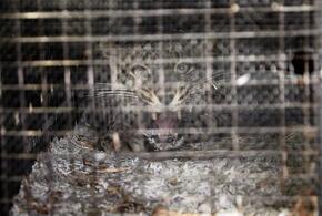 «Шведские» леопарды переехали в Сочи