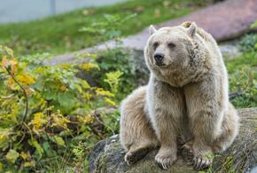 В Кавказском заповеднике появился новый вид медведей