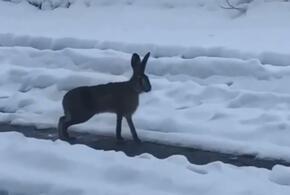 На улицы Краснодара вышел лесной зверь