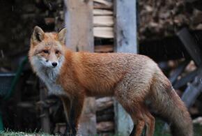По Новороссийску разгуливают голодные лисы (ВИДЕО)