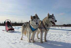 В Краснодаре передвижение на собачьих упряжках становится все популярнее (ВИДЕО)