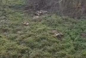 В лесу под Анапой обнаружили останки домашней птицы