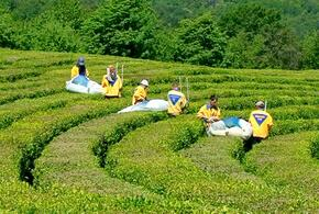 В Сочи почти вся территория чайных плантаций покрылась сорняками
