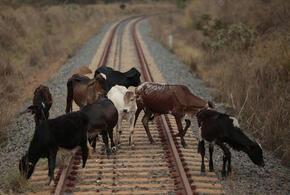 В Сочи поезд протаранил стадо коров