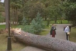 В Сочи рухнул столетний кедр