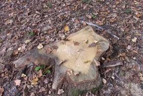 На Кубани «черный лесоруб» уничтожил деревьев на 21 миллион рублей