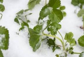 Погода принуждает фермеров Кубани рушить теплицы (ВИДЕО)