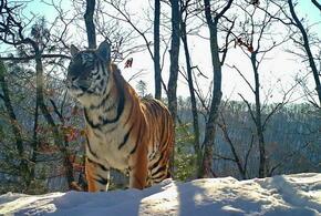 Тигр «сдал» браконьеров инспекторам госохотнадзора