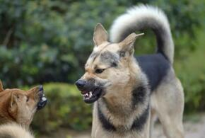 В Ейске бродячие собаки напали на местную жительницу с ребенком (ВИДЕО)