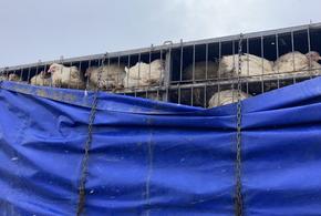 В Краснодарском крае 700 куриц отправили на карантин