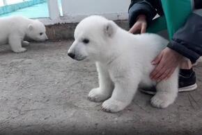 В сафари-парке Геленджика сняли на видео белых медвежат (ВИДЕО)