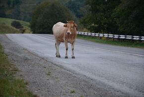 В Сочи на трассе сбили двух коров (ВИДЕО)