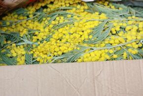 Весенняя контрабанда: в Сочи задержали 400 килограммов мимозы из Абхазии