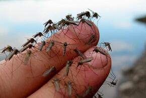 Массовое нашествие комаров ожидает кубанцев к Первомаю