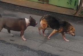 В Туапсе бойцовская собака на самовыгуле держит в страхе целый город
